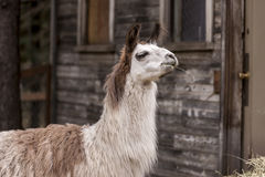 Llama has hay in mouth. Stock Photo