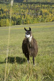 Llama have such interesting looks Royalty Free Stock Image