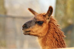 Llama head close-up Royalty Free Stock Image