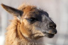 Llama head Royalty Free Stock Images