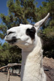 Llama head closeup Royalty Free Stock Photos