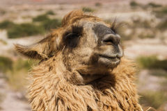 Llama Head Stock Photos