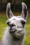 Llama, 2016. Head of a gray-haired llama royalty free stock images
