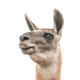 Llama. Head isolated on white royalty free stock photos