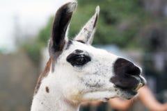 Llama head Stock Image