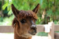Llama head Royalty Free Stock Image