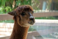 Llama head Stock Images