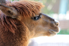 Llama head in profile. Portrait. llama head close up. in profile. petting zoo at local zoo Royalty Free Stock Photo