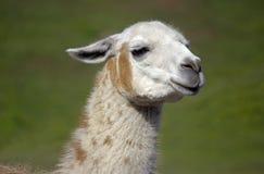 Llama Headshot Royalty Free Stock Photo