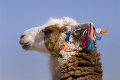Llama a high altitude Camelid Stock Photo