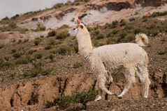 Llama a high altitude Camelid Royalty Free Stock Photo