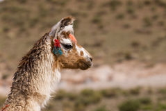 Llama a high altitude Camelid Stock Image