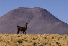 Llama a high altitude Camelid Stock Images