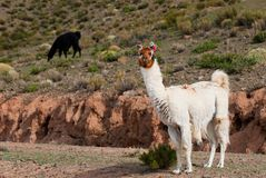Llama a high altitude Camelid Stock Photos