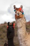 Llama a high altitude Camelid Royalty Free Stock Photos