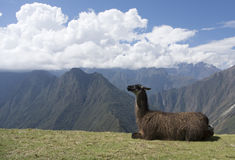 Llama i Andesna Arkivbild