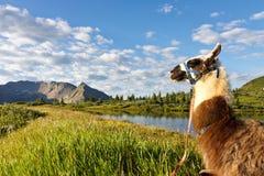 Llama at Idyllic Mountain Lake Stock Photography