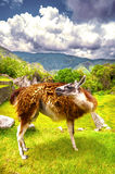 Llama in Inca city Machu Picchu (Peru) Royalty Free Stock Photos