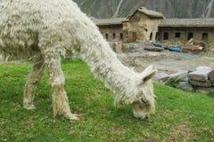 Llama in inca ruins. Llamas in ancient city inca ruins in latin America, Peru Stock Photos