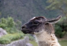 A Llama at the Inca Ruins at Machu Picchu. A llama among the Inca ruins at Machu Picchu, Peru with its assortment of intact stone buildings built on multiple stock photos