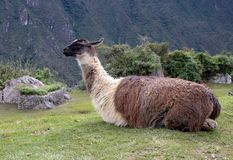 A Llama at the Inca Ruins at Machu Picchu. A llama among the Inca ruins at Machu Picchu, Peru with its assortment of intact stone buildings built on multiple royalty free stock photography