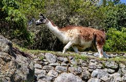 A Llama at the Inca Ruins at Machu Picchu. A llama among the Inca ruins at Machu Picchu, Peru with its assortment of intact stone buildings built on multiple stock photo