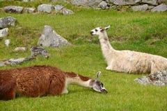 Llama at inca ruins Stock Images