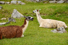 Llama at inca ruins Royalty Free Stock Photography