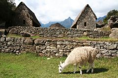Llama in the incas city Machu-Picchu royalty free stock photo