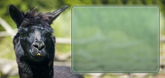 Llama infobox Stock Photography