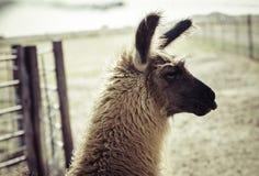 Llama (instagram Style). A llama on a farm shot in instagram style Stock Photos