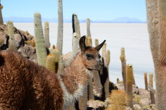 Llama at Isla Incahuasi. Salar de Uyuni. Potosí Department. Bolivia Royalty Free Stock Photography