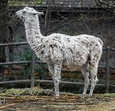 Llama in its enclosure 1 Royalty Free Stock Image