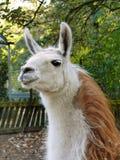 Llama lama face close up in petting zoo outdoors. Llama lama face close up of head in petting zoo outdoors Stock Photos