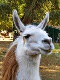 Llama lama face close up in petting zoo outdoors. Llama lama with white lashes face close up in petting zoo outdoors Stock Images
