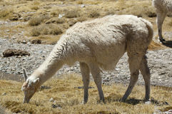 Llama (Lama glama). Llama grazing in chilean altiplano, Lauca National Park, Chile Royalty Free Stock Photography