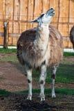 Llama (lama glama) Stock Photo