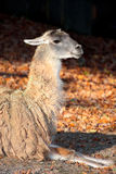 The llama (Lama glama) Royalty Free Stock Photos