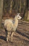 Llama (Lama glama). In an autumn forest Royalty Free Stock Photos
