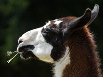 Llama. The llama (Lama glama), also spelled lama, is a domesticated South American camel-like animal. It is widely used as a meat and pack animal by Andean stock photography