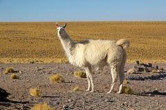 Llama lama glama. In the Atacama desert, Chile stock images