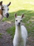 Llama (Lama glama) baby Royalty Free Stock Image