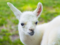 Llama (Lama glama) baby Stock Image
