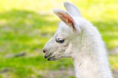 Llama (Lama glama) baby Stock Photography