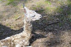 Llama (Lama glama) baby Royalty Free Stock Photo