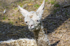 Llama (Lama glama) baby Stock Photo