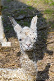 Llama (Lama glama) baby Royalty Free Stock Photography