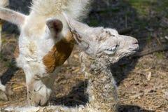 Llama (Lama glama) baby Stock Photos