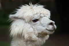 Llama Lama glama. Stock Images