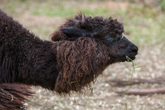 Llama Lama glama. Royalty Free Stock Images